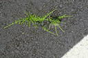 horsetail-thru-asphalt
